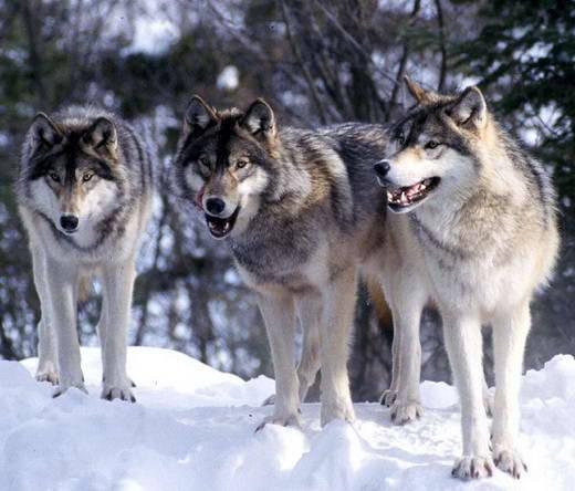 Anjing Serigala